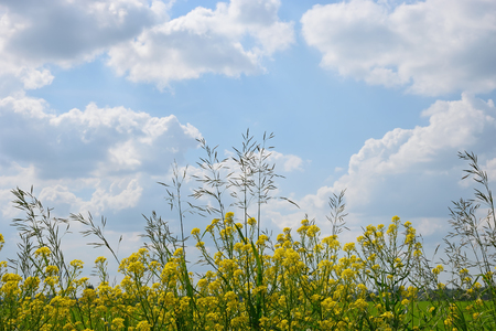 Grass with flowers of bittercress and Timothy grass on the background of blue sky with white clouds in summer. Stock Photo