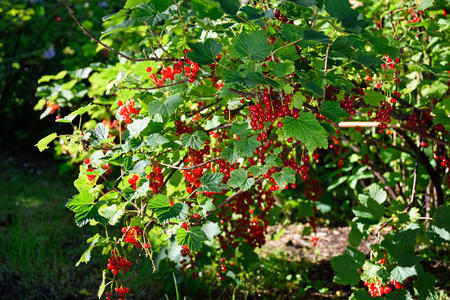 Branch of red currants in the bright rays of the sun.