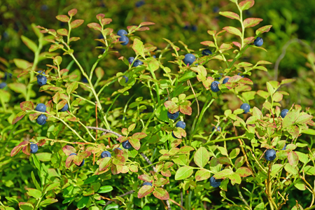 The blueberry Bush with berries on a Sunny summer day horizontally.