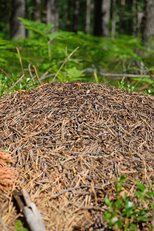 The ants on the anthill in the woods on a Sunny summer day. Stock Photo
