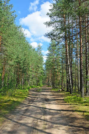 Forest road in a pine forest on a summer day under the blue sky with white clouds in the rays of the sun.
