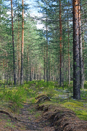 leningrad: Fire overgrown ditch in a pine forest on a Sunny day. Stock Photo