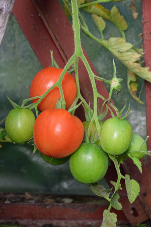 leningradskaya: Branch of ripe red and green ripening round tomatoes on the Bush closeup in the greenhouse in the village of Vyritsa Sunny summer day.