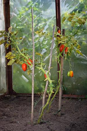 leningradskaya: Bush red ripe plum tomatoes in the greenhouse in the village of Vyritsa Sunny summer day.