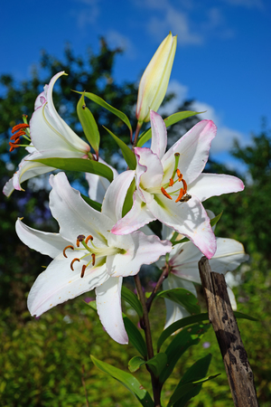 The bee sits on the great white stamen of a Lily in Vyritsa Sunny summer day.