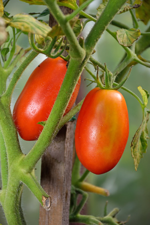Two red ripe plum tomatoes on the Bush closeup in the greenhouse in the village of Vyritsa Sunny summer day. Stock Photo