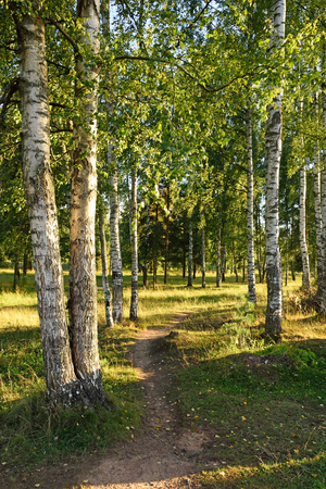 leningradskaya: A path in a birch grove on the banks of the Oredezh river in the village of Vyritsa Sunny summer day. Stock Photo