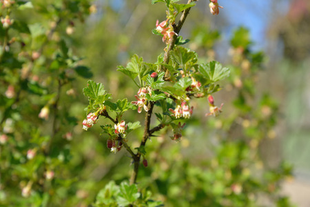 dissolve: A branch of a flowering gooseberry with young leaves in Sunny day in Leningrad region Stock Photo