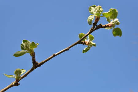 dissolve: The Apple tree branch with young leaves on a background of blue sky in spring Sunny day in Leningrad region