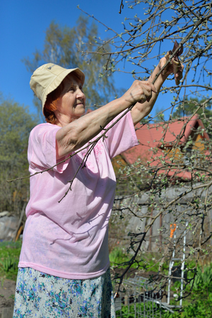 An elderly woman gardener shears cuts the Apple tree branch in spring on a Sunny day in Leningrad region Stock Photo