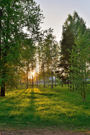 The suns rays breaking through the branches in the birch grove in  summer Stock Photo