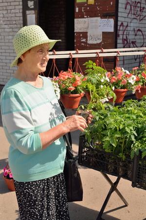 VYRUTSA, RUSSLAND - 29. MAI 2016: Weiblicher Gärtner wählt Sprösslinge von Tomaten auf der Straße Standard-Bild