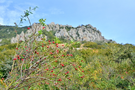 The wild rose Bush against the mountain in the valley of ghosts. Crimea