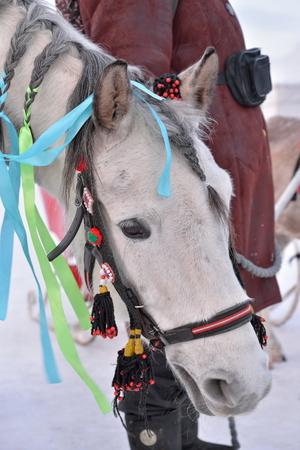 Portrait of a horse adorned with ribbons 版權商用圖片