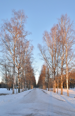 Birch alley in the Alexander Park in winter. Pushkin, Tsarskoye Selo, Saint Petersburg Stock Photo