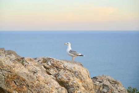 Seagull sitting on a rock by the sea. Sudak. Crimea