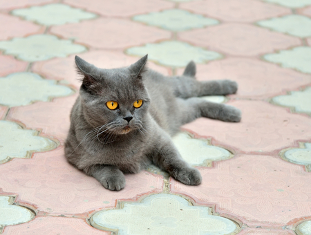 British cat lying on the sidewalk pavement Stock fotó