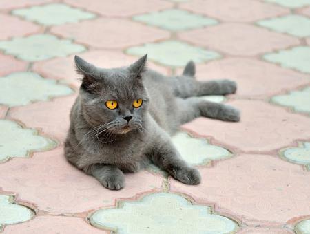 British cat lying on the sidewalk pavement Stockfoto