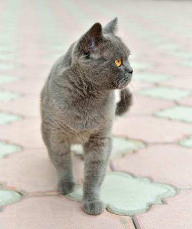 British cat is on sidewalk pavement. Sudak