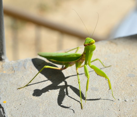 Insect mantis on stone stairs. Sudak. Crimea 写真素材