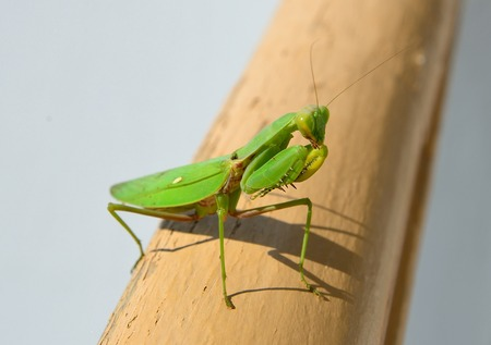 Insect mantis on the railing. Sudak. Crimea 写真素材