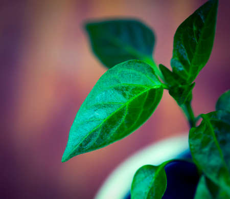 Green Household Plant. Young Pepper Sprouts. Home Garden.