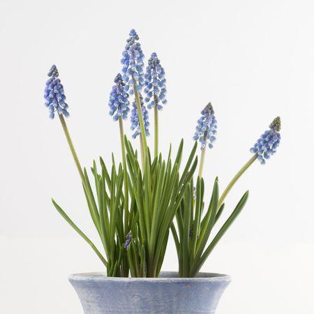 Commin grape hyacinths announcing spring