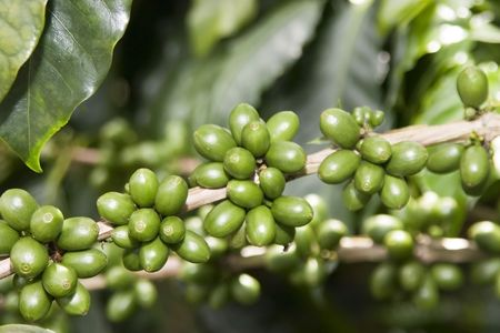 green bean: Green coffee beans on branch