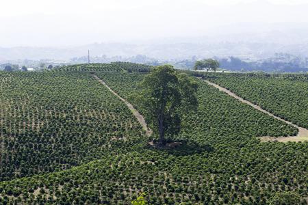 cafe colombiano: Coffee Plantation En Colombia, frijoles rojos de caf� en una rama de �rbol