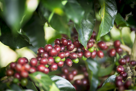 rich flavor: Coffee Plant. Red Coffee Beans on a Branch of Coffee Tree