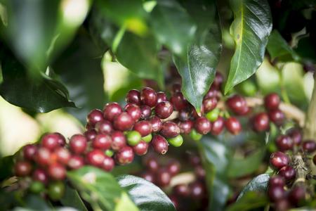 planta de cafe: Planta del caf�. Frijoles rojos de caf� en una rama de �rbol de caf�