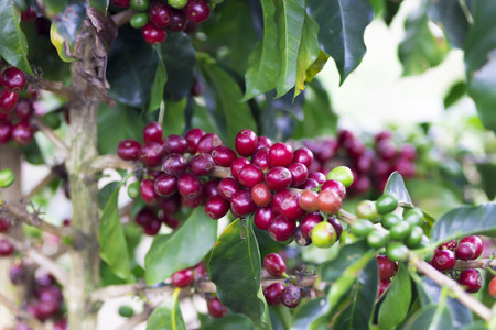 cafe colombiano: Coffee Plant. Red Coffee Beans on a Branch of Coffee Tree