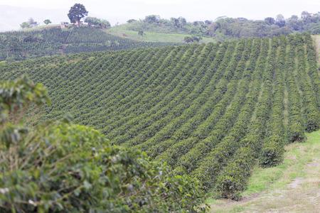 Organic Coffee Farm, Coffee Plantation In Colombia