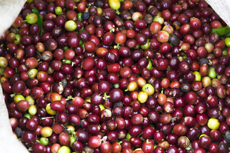 flavored: Background texture of red coffee beans, fresh coffee