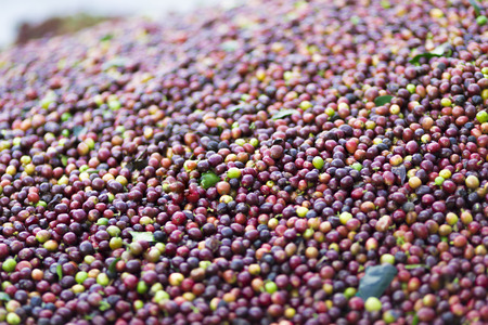 Background texture of red coffee beans, fresh coffee