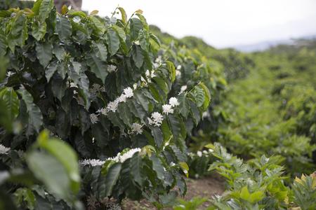 Koffieplantage In Colombia, Rode Koffiebonen Op Een Tak Van Boom