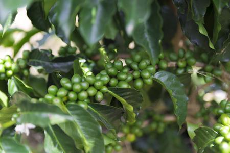 Green coffee beans on branch, Colombian Coffee Plantation Reklamní fotografie