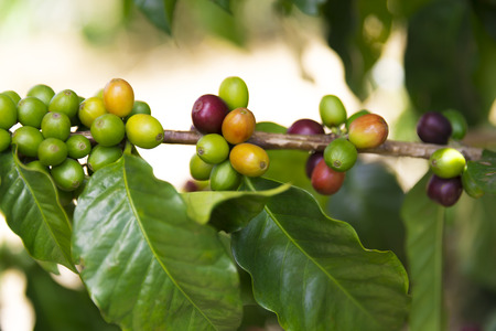 Green coffee beans on branch, Colombian Coffee Plantation Stock Photo