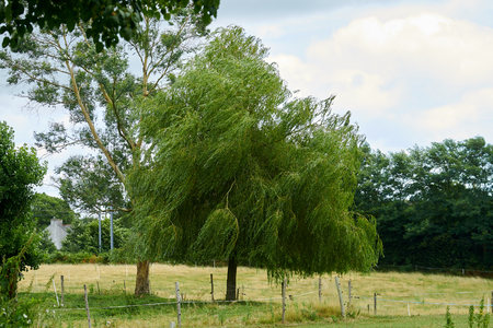 wind and weeping willow. Stock Photo