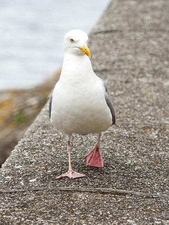 White dove close up.