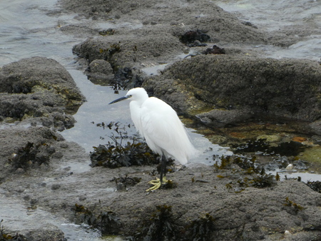 egret by the sea.
