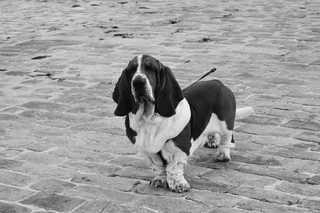 dog breed basset hound. Stock Photo