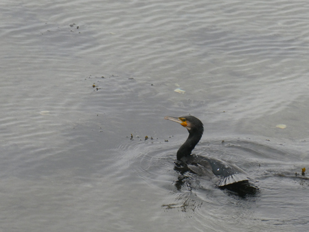 cormorant coming out of the water.