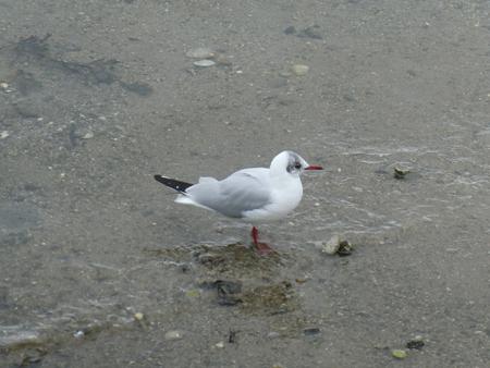 Seagull laughing. Banco de Imagens