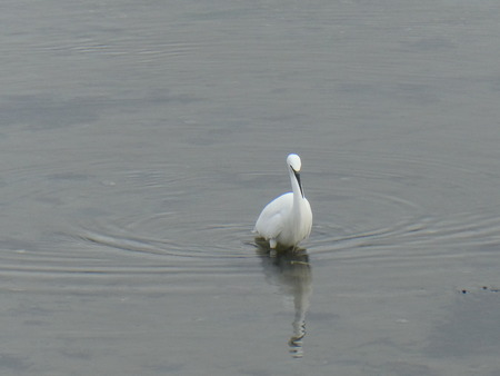 Egret on the lookout for fish. Stock fotó