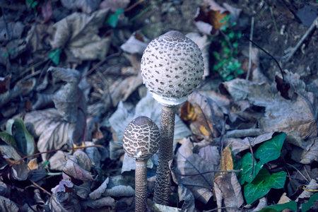 Young mushroom variety lepiot.