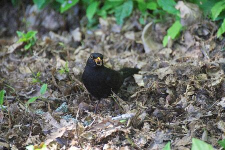 Blackbird holding a seed in its beak. Stock Photo