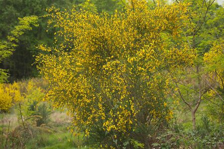 Shrub with broom, yellow flowers. 写真素材