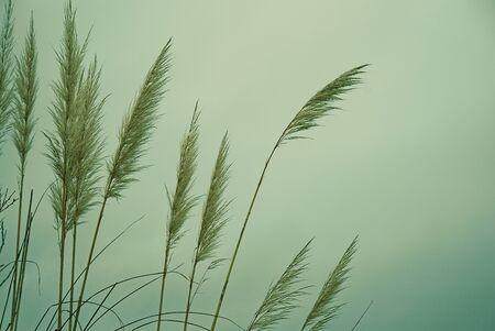 Wild reeds.
