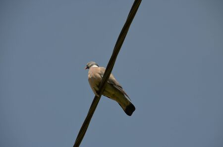 Dove placed on an electric cable.